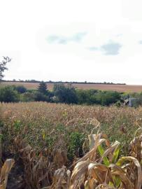 Our Corn field
