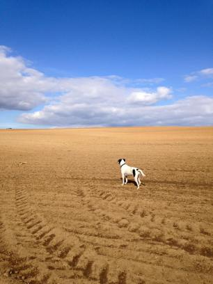 Pepper on the freshly ploughed corn field